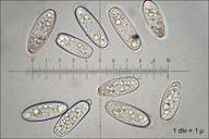 Sarcoscypha austriaca
