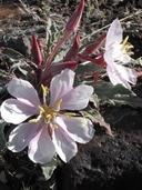 Oenothera cespitosa