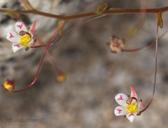 Nemacladus tenuis var. tenuis