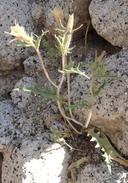 Mentzelia hirsutissima