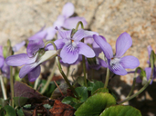 Where It Grows The Phtographed Plant Is Called 'white-spurred Violet'