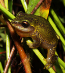 Variable Reed Frog
