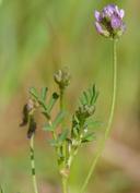 Astragalus gambelianus