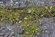 Sagina decumbens ssp. occidentalis