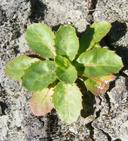 Crepis bursifolia