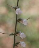 Antirrhinum vexillocalyculatum