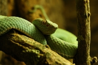 Side-striped Palm Viper