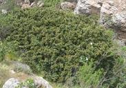 Ceanothus megacarpus var. megacarpus