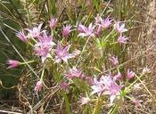 Allium praecox
