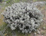 Eriogonum giganteum var. formosum