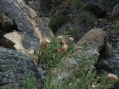 Hazardia brickellioides
