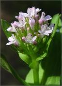 Plectritis congesta ssp. brachystemon