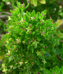 Galium catalinense