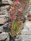 Dudleya saxosa ssp. saxosa