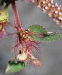 Acalypha californica