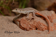 Red Tailed Lizard