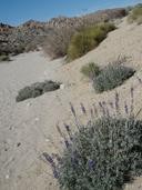 Lupinus excubitus var. medius