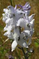 Delphinium variegatum ssp. kinkiense