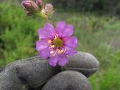 Mirabilis laevis var. crassifolia