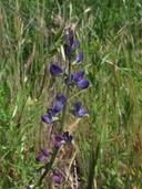 Lupinus sparsiflorus ssp. sparsiflorus