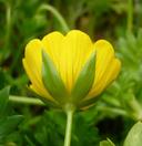 Limnanthes douglasii ssp. sulphurea