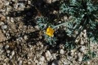 Eschscholzia minutiflora ssp. minutiflora