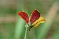 Viola purpurea ssp. purpurea