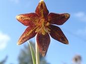 Fritillaria biflora var. ineziana