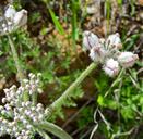 Lomatium dasycarpum ssp. tomentosum