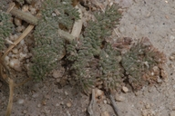 Lomatium foeniculaceum ssp. macdougalii