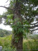 Syngonium neglectum