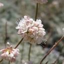Eriogonum kennedyi var. pinicola