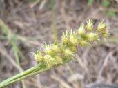 Cenchrus echinatus