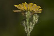 Hieracium piloselloides
