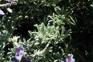 Lupinus albifrons var. douglasii