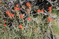 Peck's Indian Paintbrush
