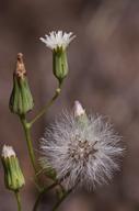 Malacothrix stebbinsii