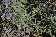 Lupinus caudatus ssp. caudatus