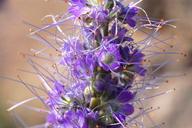 Phacelia sericea