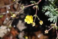 Potentilla millefolia var. klamathensis