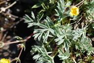 Potentilla millefolia