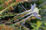 Aquilegia coerulea var. coerulea