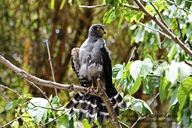 Bicolored Hawk