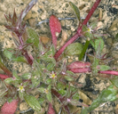 Chorizanthe polygonoides var. polygonoides