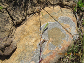 Githopsis diffusa ssp. diffusa