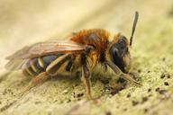 Andrena gravida