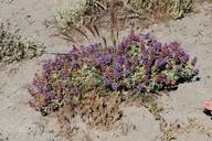 Salvia dorrii ssp. dorrii var. dorrii