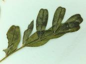 Astragalus rattanii var. rattanii