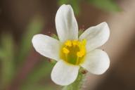 Linanthus pygmaeus ssp. continentalis