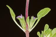 Pogogyne serpylloides